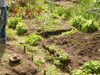 Potato planting 1 (2)